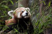 Western red panda (Ailurus fulgens fulgens), also known as the Nepalese red panda. poster