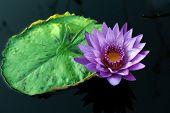 Постер, плакат: Тропический день цветение водяная лилия