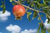 picture of tabernacle  - pomegranate on branch - JPG