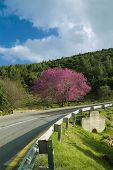 pic of judas tree  - Cercis tree in full rose bloom and a winding road - JPG