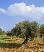 stock photo of olive trees  - anciant  olive grove in the Galilee - JPG