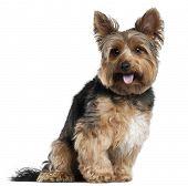 foto of yorkshire terrier  - Yorkshire Terrier - JPG