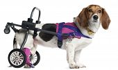 foto of cross-breeding  - Paralyzed handicapped mixed - JPG