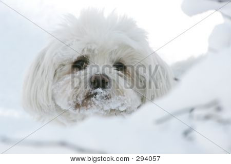 Maltese Dog In Snow