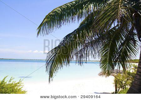 Palm In Beach Of Cayo Santa Maria.