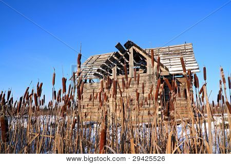 bulrush near wooden rural building