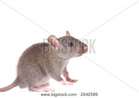 Curios Mouse