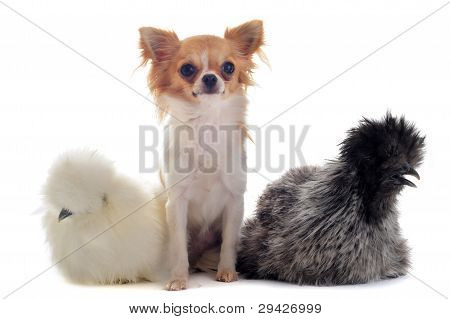 Young Silkies And Chihuahua