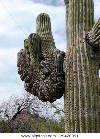 saguaro cactus crested arm