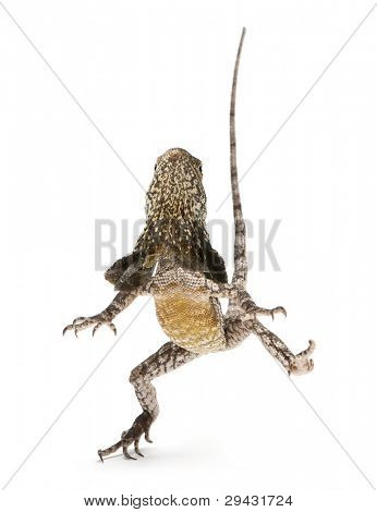 Frill-necked lizard, also known as the frilled lizard, Chlamydosaurus kingii, in front of white background