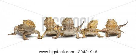 Central Bearded Dragons, Pogona vitticeps, in front of white background