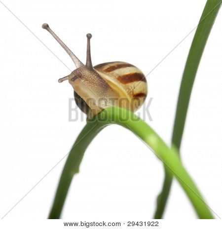 White Garden Snail, also know as the Sand Hill Snail, White Italian Snail, Mediterranean Coastal Snail or Mediterranean Snail, Theba pisana, on plant in front of white background
