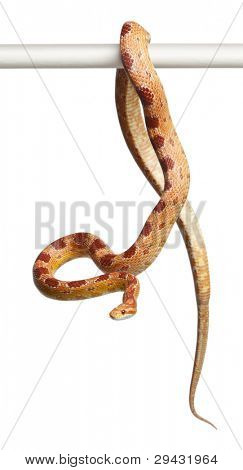 Okeetee albino Corn Snake, Pantherophis guttatus, in front of white background