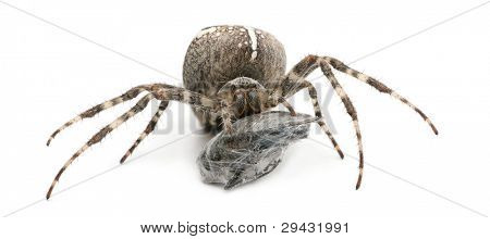 European garden spider, diadem spider, cross spider, or cross orbweaver, Araneus diadematus, eating a fly in front of white background
