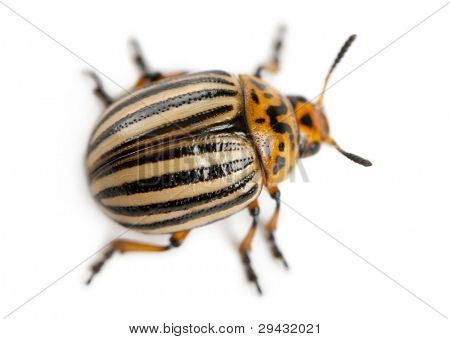 Colorado potato beetle, also known as the Colorado beetle, the ten-striped spearman, the ten-lined potato beetle or the potato bug, Leptinotarsa decemlineata, in front of white background