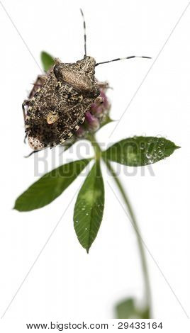 European stink bug, Rhaphigaster nebulosa, on plant in front of white background