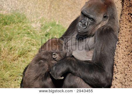 Gorilla Nursing Her Young