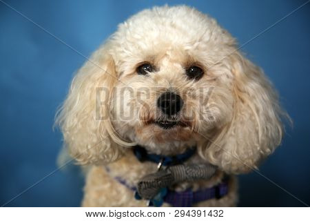 poster of poodle. bichon poodle mix breed dog. Cute tan colored dog on a blue seamless background.