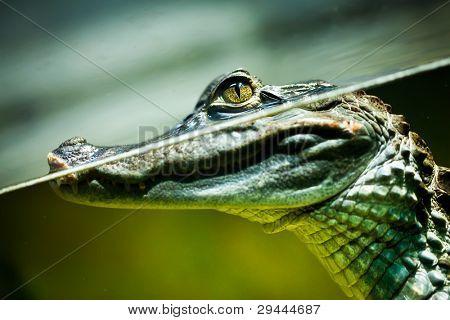 Caiman crocodilus na água...