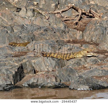 Monitor lizard and crocodile