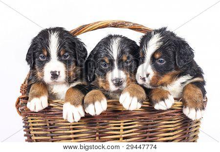 bernese sennenhund puppies in basket on a white background