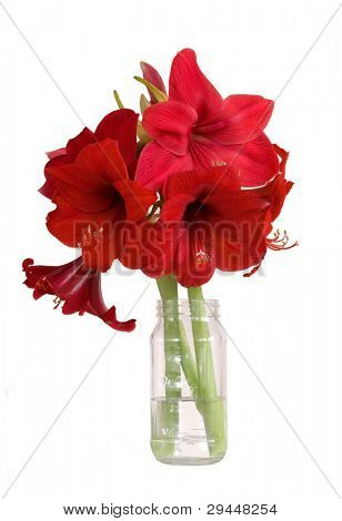 bouquet of amaryllis flowers - isolated on white