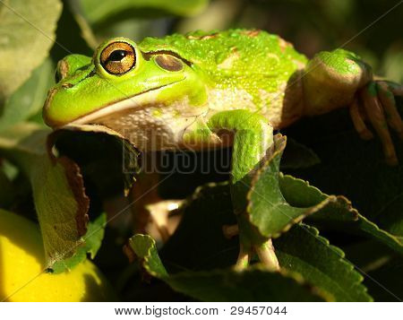 Green Tree Frog camouflage
