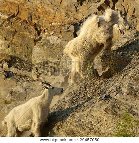 Mountain Goats climbing a cliff
