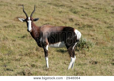 Bontebok From Africa