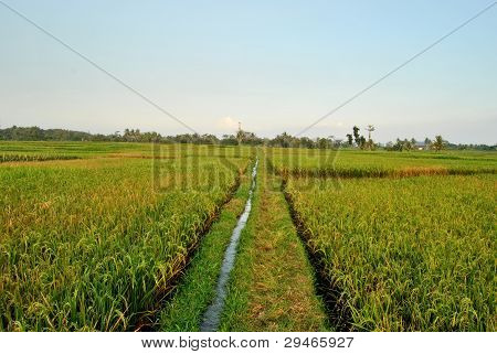 green rice field and blue sky in indonesia