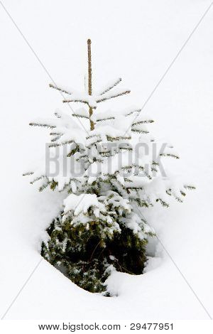 small fir tree in snow