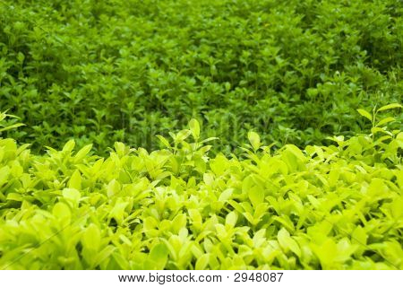 Organic Tea Leaf Field