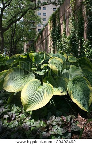 Hostas in Shady Minneapolis Park