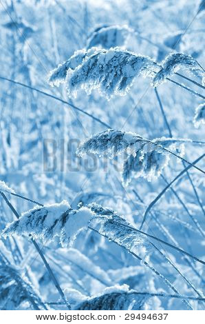 Frozen reed in the wind