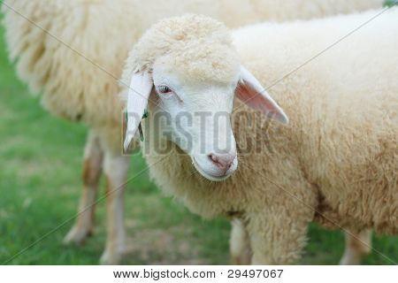 Close Up Of Sheep Face