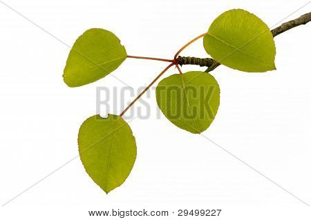 sprig of young pear