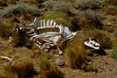 image of cow skeleton  - A skeleton of a cow naturally decomposed in wilderness - JPG