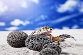 foto of hemidactylus  - Gecko leopard on sand in natural environment - JPG