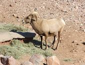 big horn sheep in desert