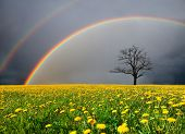 image of wheat-free  - dandelion field and dead tree under cloudy sky with rainbow - JPG