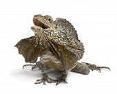 Frill-necked lizard, also known as the frilled lizard, Chlamydosaurus kingii, in front of white back