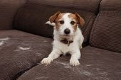 Furry Jack Russell Dog, Shedding Hair During Annual Molt Season Playing On Sofa Furtniture. poster