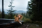 Dog In The Forest Lies On Awood Log. Nova Scotia Duck Tolling Retriever In Nature. Pet Travel poster