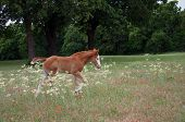 Photo of foal walking in wildflowers.