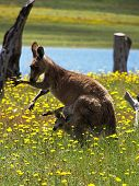stock photo of kangaroo  - baby kangaroo in his mother - JPG