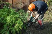 foto of cutting trees  - tree worker cutting conifers with a chainsaw - JPG