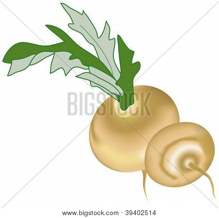 vector turnip