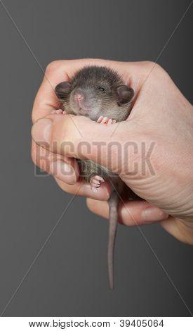 Very Small Rat