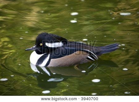 Black White Goldeneye Duck