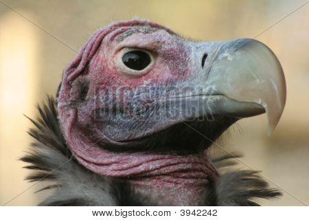 Lappit konfrontiert vulture